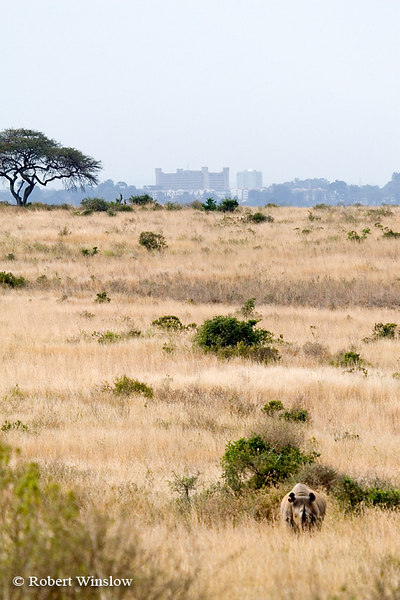 Black Rhinocerous (Diceros bicornis), Nairobi National Park, Nairobi, Kenya, Africa