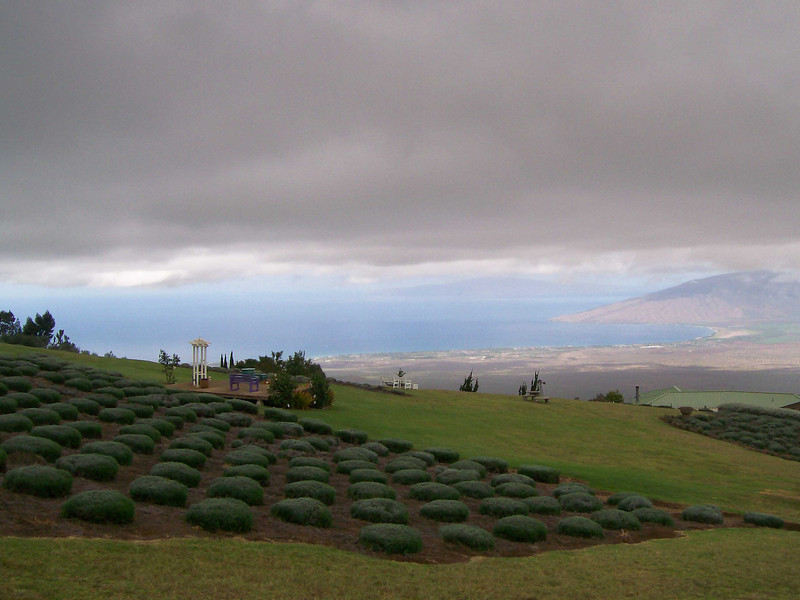 A lavender farm about 5000 feet abouve Maui, Hawaii on enroute to  Haleakala valcano crater