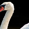 Title: White On Black<br /> Date: August 2009<br /> Cape Cod MA - A Mute Swan, taken along the Bass River on the Cape.