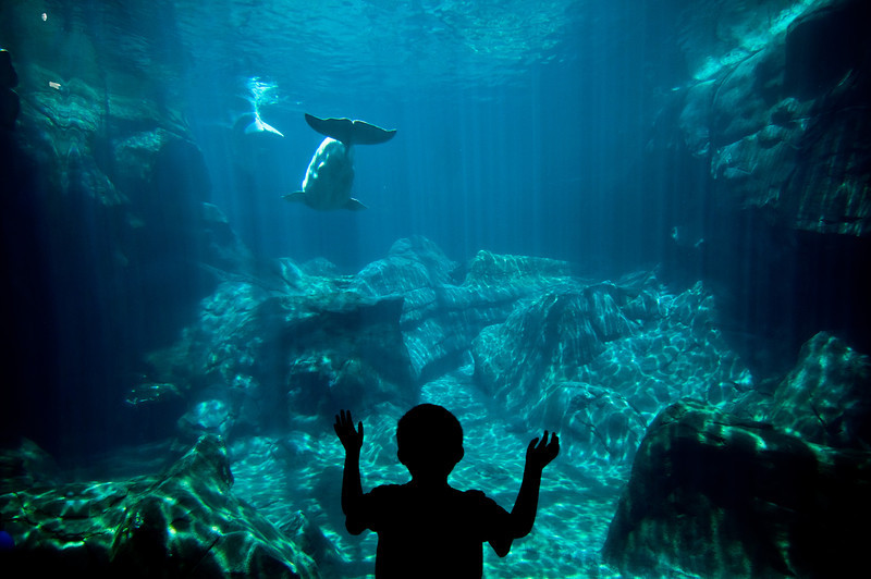 Title: Come Back<br /> Date: June 2011<br /> Atlanta - A boy watches a Beluga Whale swim away at the Georgia Aquarium.