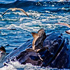 Title: One Misstep...<br /> Date: August 2008<br /> Cape Cod MA - Just off of Cape Cod MA, a seagull, who had been eating stray fish out of the mouth of the Humpback Whale, nearly falls into the water when the whale heads back under water.