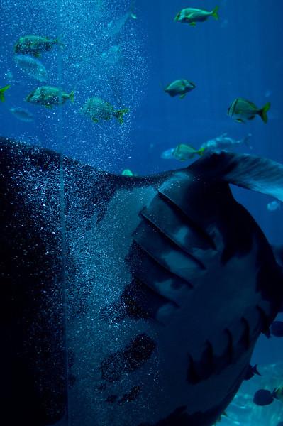 Title: Bubble Rider<br /> Date: June 2011<br /> Atlanta - A giant Manta Ray in the Georgia Aquarium.
