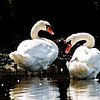 Title: Mute Swans<br /> Date: August 2009<br /> Cape Cod MA - A pair of Mute Swans, taken along the Bass River on the Cape.