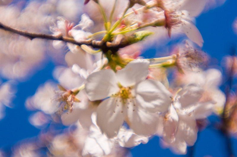 Title: Dreams Bloom<br /> Date: March 2010<br /> Portland OR - Cherry Blossoms bloom along the Willamette River.  The unfocused look is achieved by using a plastic lens.