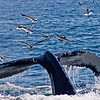 Title: What a Tail to Tell<br /> Date: August 2008<br /> Cape Cod MA - A Humpback Whale off Cape Cod MA.