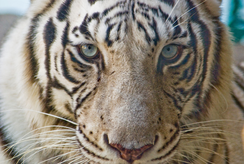 Title: Mesmerized<br /> Date: October 2008<br /> Busch Gardens Tampa FL - A white tiger at the Busch Gardens Amusement Park in Tampa Florida.
