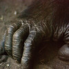 Title: Hand<br /> Date: October 2008<br /> Busch Gardens Tampa FL - A Gorilla's hand.