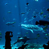 Title: What to Shoot?<br /> Date: June 2011<br /> Atlanta - A parent takes a picture of a Shark Whale in the main fish tank of the Georgia Aquarium.