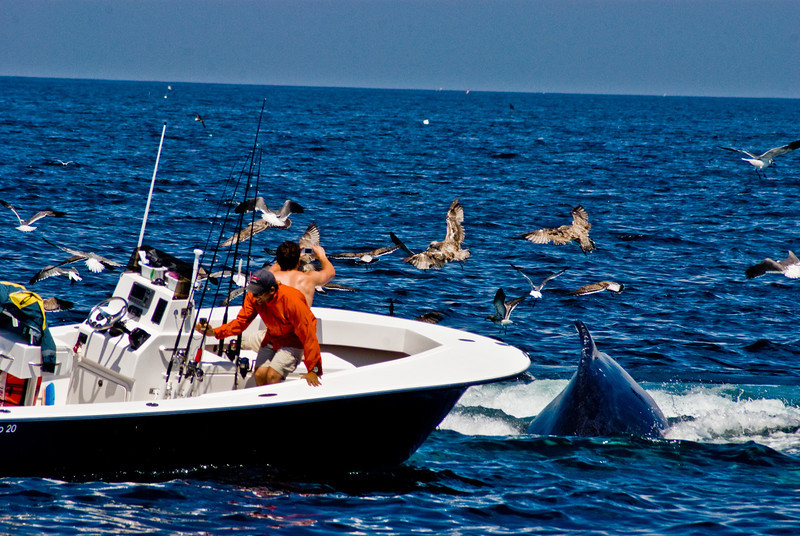 Title: The Shot at All Costs<br /> Date: August 2008<br /> Cape Cod MA - Just off of Cape Cod MA, a pod of Humpback Whales were breaching the water to eat.  They were breaching among a number of fishing boats.