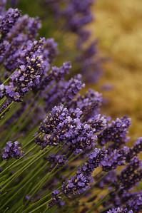 Pelindaba Lavender Farm  -  San Juan Islands  - Friday Harbor, Washington