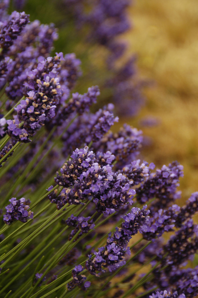Pelindaba Lavender Farm  -  San Juan Islands  - Friday Harbor, Washington