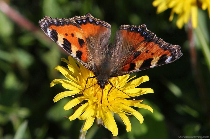Butterfly @ Hongrin Switzerland 2Jun12