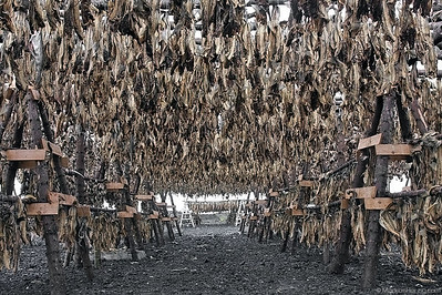 Dried cod @ Hafnarfjördur Iceland 29Jul09