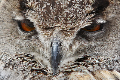 Poker face of an eagle owl @ Antibes France 2May08
