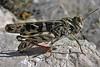 Grasshopper @ Pag Croatia 4Aug12