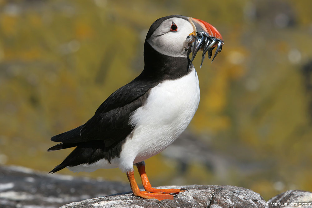 Puffin with fish @ Isle of May Scotland 14Jul06