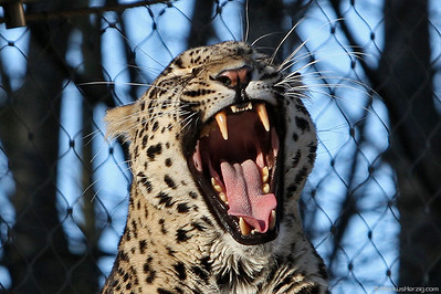 Persian Leopard @ Bern Tierpark Switzerland 15Jan12