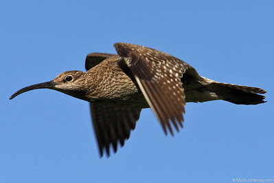 Curlew in a fly by @ Akureyri Iceland 22Jul10