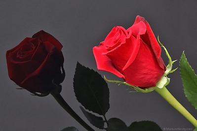 Valentine Rose @ Liebefeld Switzerland 14Feb12