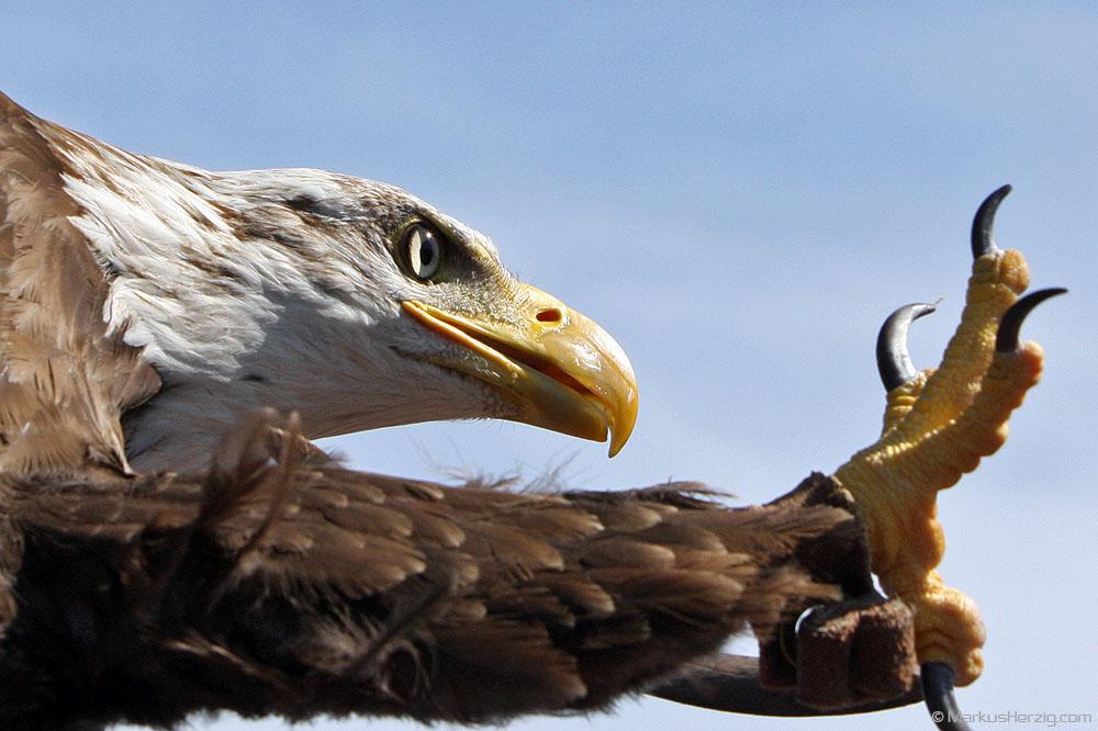 Eagle in flight @ Antibes France 2Jul08
