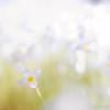 Wildflower in Stowe, Vermont.