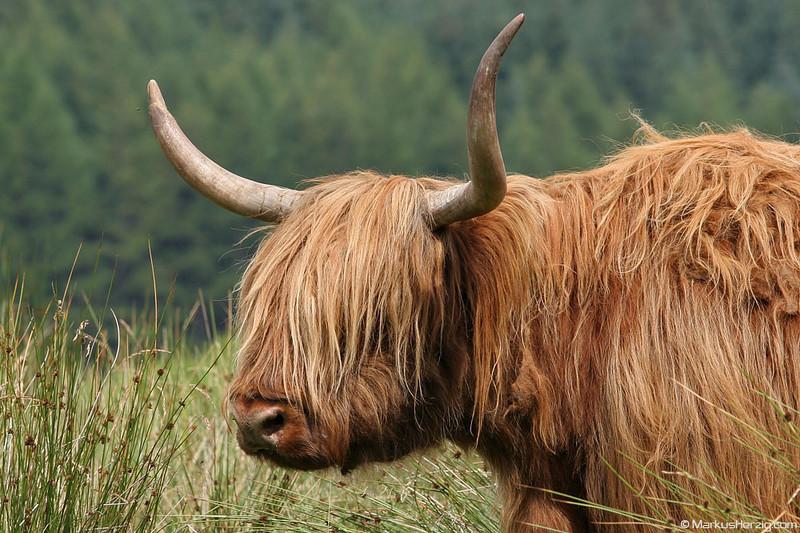 Highland cattle @ Scotland 19Jul06