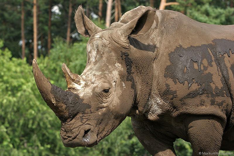 Rhino in Serengeti-Safari-Park @ Hodenhagen Germany 8Jul07