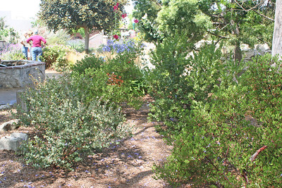 6/30/10 Manzanitas (Arctostaphylos spp.) along east side of the Great Stone Church.