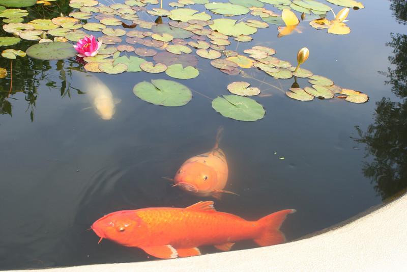 6/30/10 Koi in raised pond, Front garden.