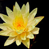 mission_lotus_flower