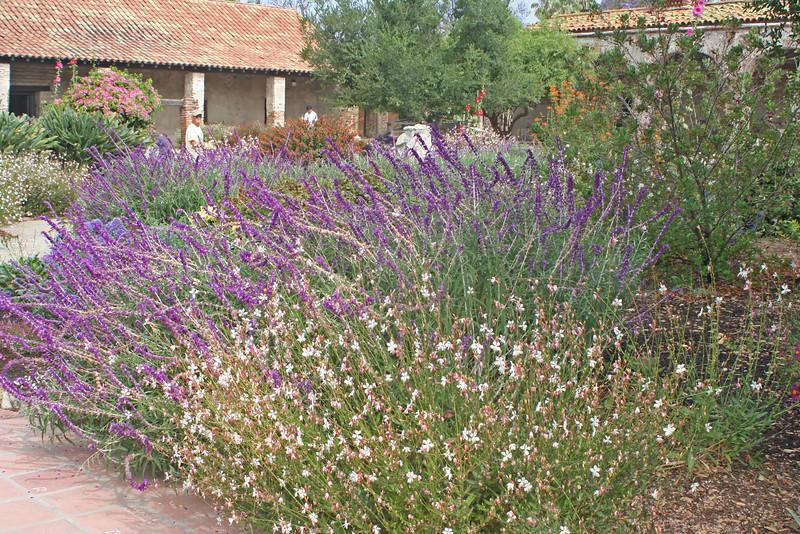6/30/10 Wandflower (Gaura lindheimeri) and Mexican Bush Sage (Salvia leucantha). Front Garden.