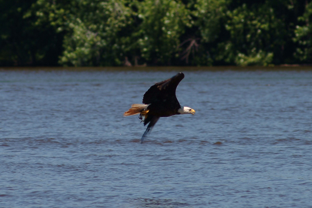 I didn't notice how good this photo was for months.  I thought this bald eagle was blurred out, and when I finally looked at it, not only was it perfect, I caught him bringing his lunch home.  If you zoom in on this photo you'll see his lunch in his claws.
