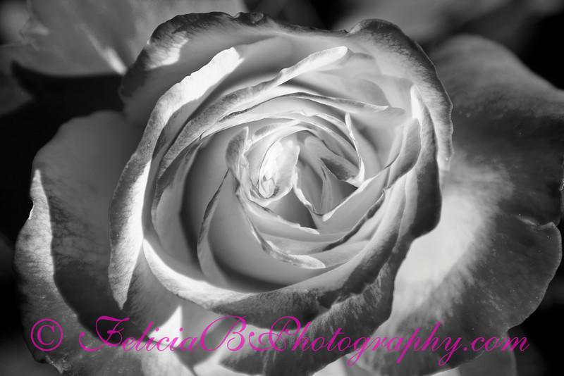 Rose 12 bw