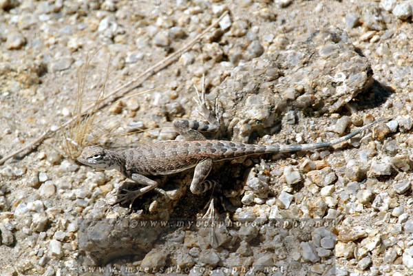 zebra tailed lizard FAST RUNNER
