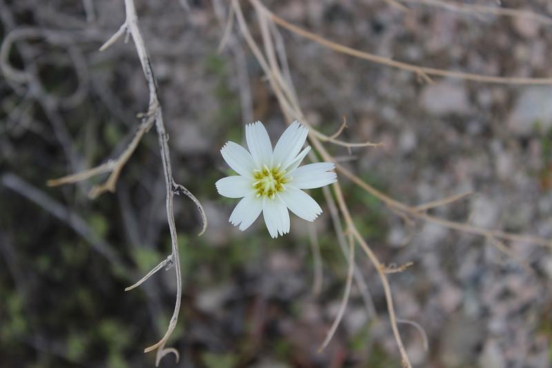 "Same location near 1st campsite.<br /> Desert Chicory  <a href=""http://www.desertusa.com/may97/du_deschicory.html"">http://www.desertusa.com/may97/du_deschicory.html</a><br /> 3/15/2013"