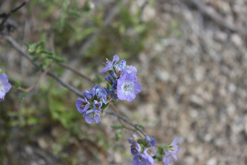"3/15/2013<br /> Just west of our 1st. campsite.<br /> Blue Phacelia   <a href=""http://www.desertusa.com/flowers/Blue-Phacelia-Wild-Heliotrope-Scorpionweed.html"">http://www.desertusa.com/flowers/Blue-Phacelia-Wild-Heliotrope-Scorpionweed.html</a>"