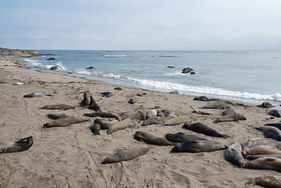 Elephant seals.