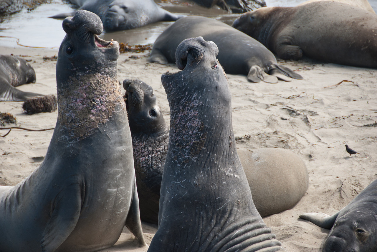 Fighting elephant seals