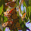 droves of Monarchs