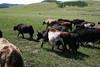 Herding yak!