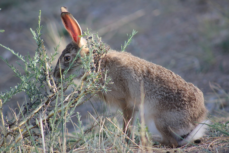 This rabbit was HUGE!  Does that mean it was a hare?  I never did know the difference...