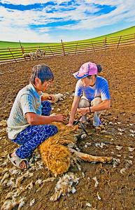 Shearing-Sheep-0081