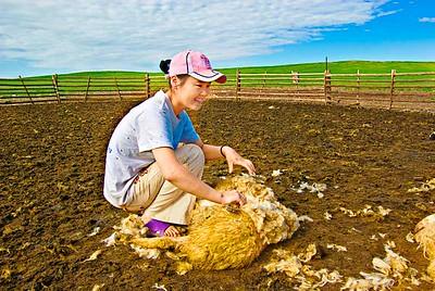 Shearing-Sheep-0084