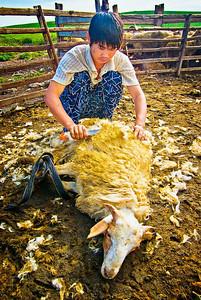 Shearing-Sheep-0086