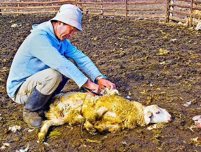 Shearing-Sheep-0072