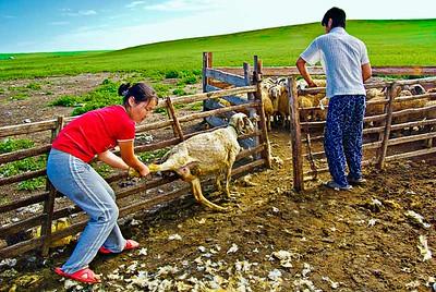 Shearing-Sheep-0090