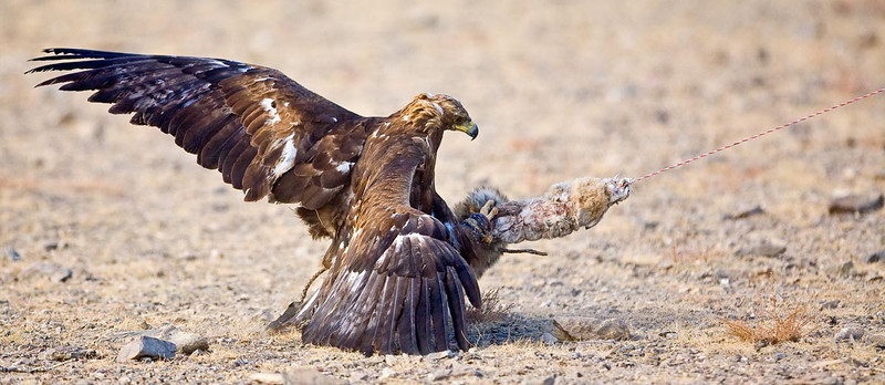 Another eagle shown been dragged by rabbit skin being pulled by a horse.