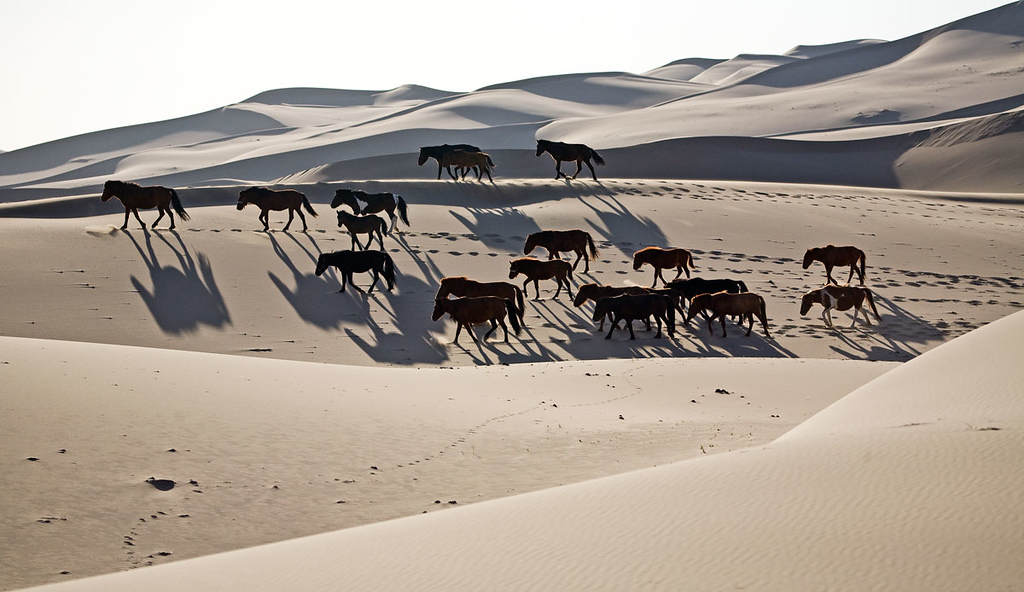 Welcome surprise...wild horses in the Gobi.