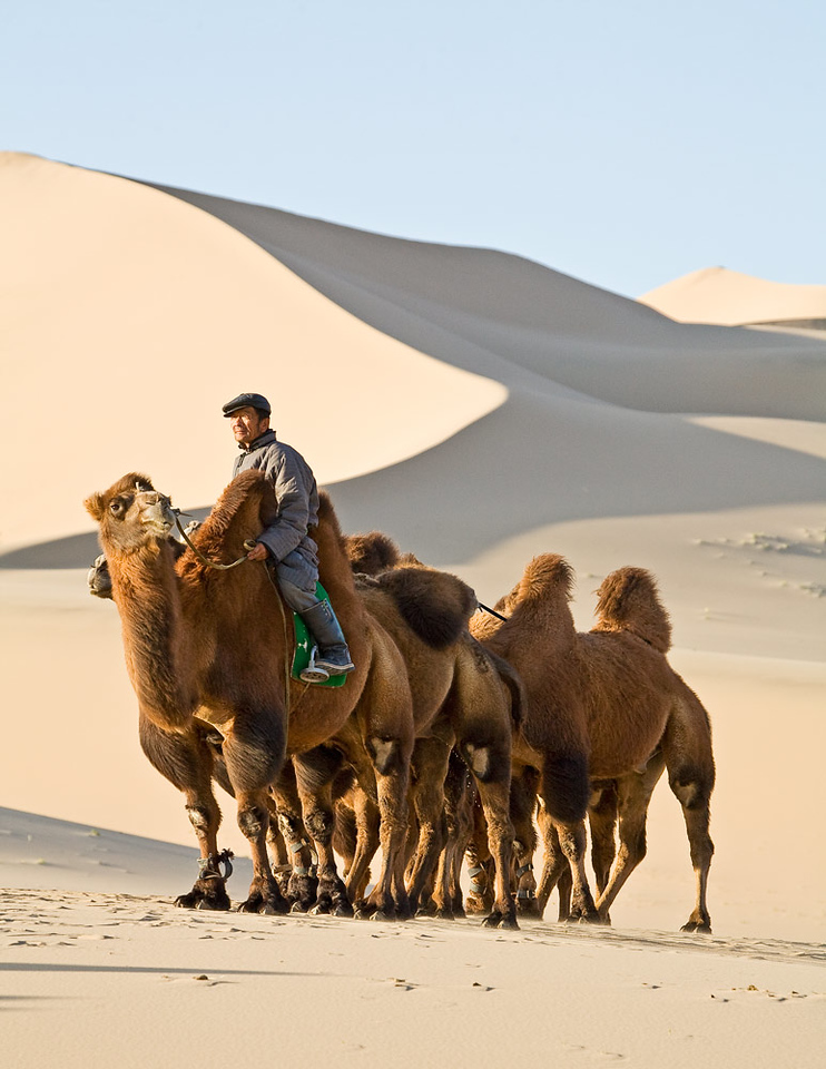 Camel handler...but these are not camels.