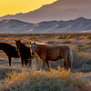 Mongolian horses in the Gobi Desert